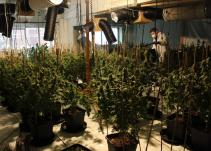 Lenwade cannabis factory